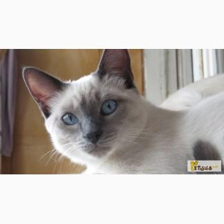 Тайские котенок 7 мес. Элита породы. д.р. 12.07.2015