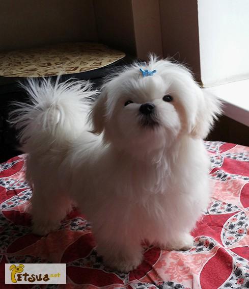 Фото 1/8. Продается белоснежный щенок мальтезе, с беби-фейс