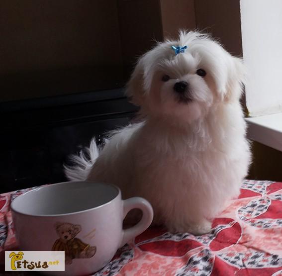 Фото 2/8. Продается белоснежный щенок мальтезе, с беби-фейс