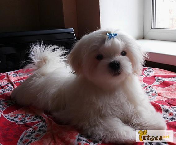 Фото 3/8. Продается белоснежный щенок мальтезе, с беби-фейс