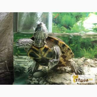 Красноухая черепаха ищет новый дом 1, 5 года