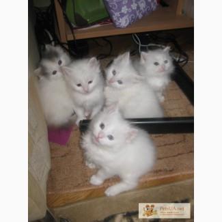 Маленькие котята ангора (белые и пушистые)