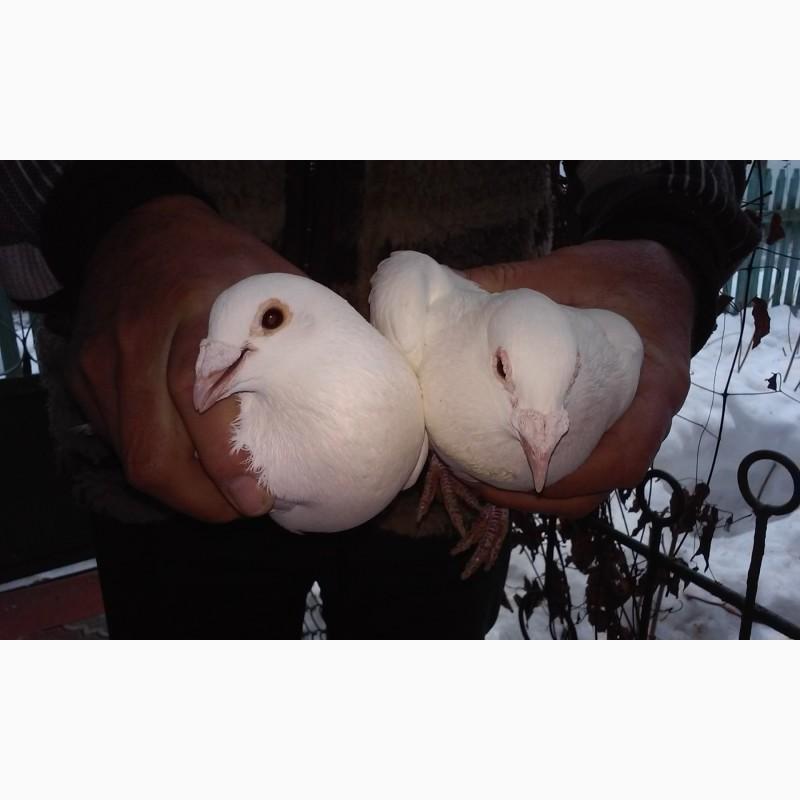 Фото 1/2. Продам белых спортивных голубей! Могу дать на прокат/свадьбу