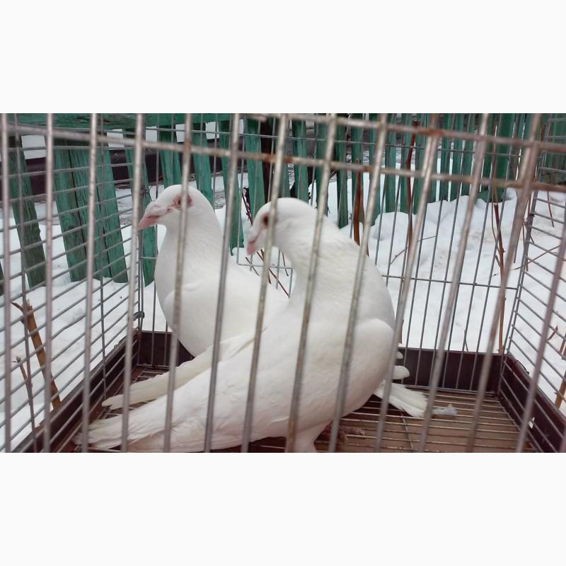 Фото 2/2. Продам белых спортивных голубей! Могу дать на прокат/свадьбу