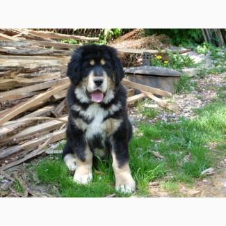 Прекрасный щенок тибетского мастифа