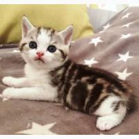 Чудесные шотландские котята по летним горячим ценам ждут своих хозяев. Выбор огромный