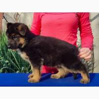 Продам высокопородных щенков немецкой овчарки