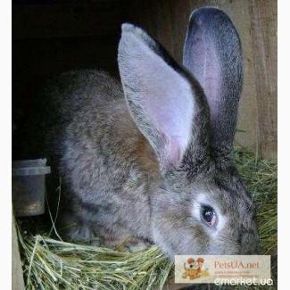 Продам кроликов Фландер и черный великан
