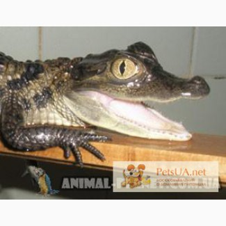 Крокодил – детёныш каймана, размер 35 – 37 см.