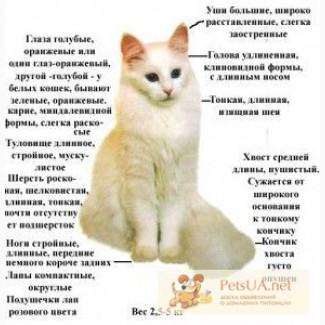 Кошки турецкой ангоры - аристократы кошачьего царства. 1 месяц резервирование.
