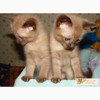 Котята тонкинезы