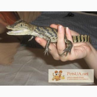 Кайман - ручные карликовые крокодилы