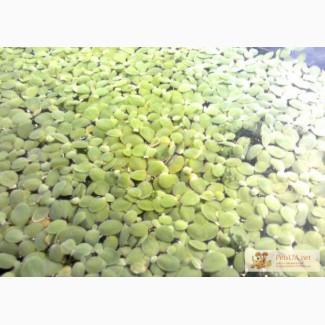 Продам аквариумную капусту (пистию)