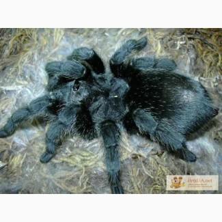 Продаём паук птицеед, тарантул паук птицеед, тарантул