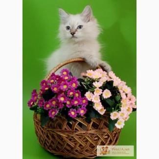 Предлагаем сибирских котят, киевский питомник Сибирский Охотник