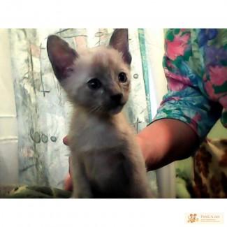 Тонкиские котята от тонкинов