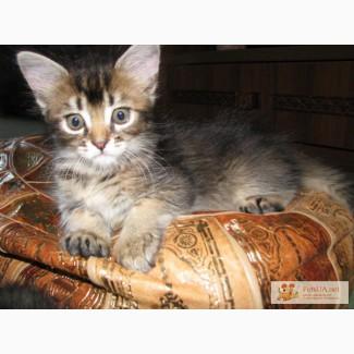 Продам котят - мама Сомали