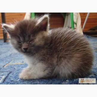 Продаются котята породы Норвежская лесная