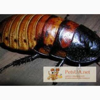 Мадагаскарские тараканы, архимандриты, блаберусы