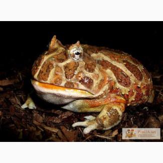Продам экзотических лягушек Рогатка лягушек Рогатка