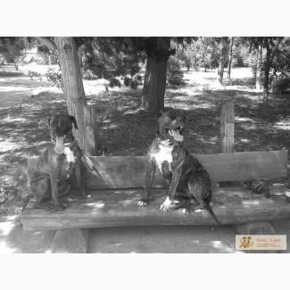 Продам щенков Кубинского пит-бультерьера НЕДОРОГО