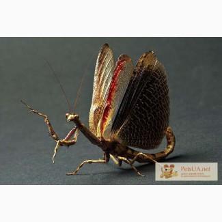 Продам Веточных Африканских богомолов Popa spurca
