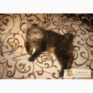 Срочно продаются котята породы курильский бобтейл!