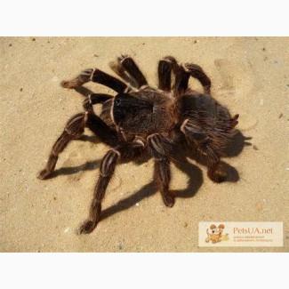 Продаётся паук птицеед(Лошадиный паук)