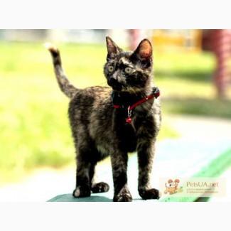 Котёнок-трёхцветка европейская короткошерстная в дар