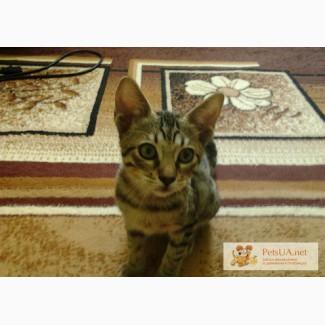 Предлагается красавица девочка, котенок породы Оцикет
