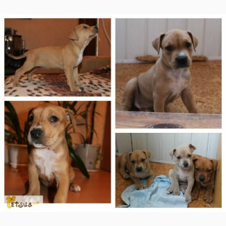 Продам щенков Американского питбультерьера (АПБТ)