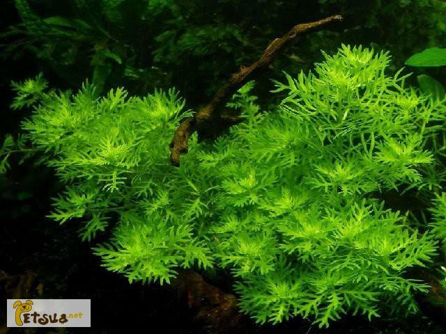 Фото 11. Аквариумные растения для небольших и нано аквариумов