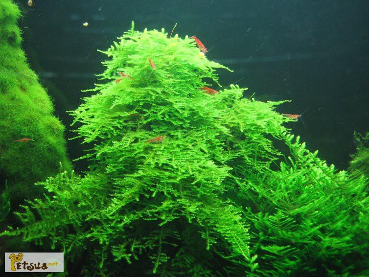 Фото 13. Аквариумные растения для небольших и нано аквариумов