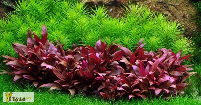 Фото 2/18. Аквариумные растения для небольших и нано аквариумов