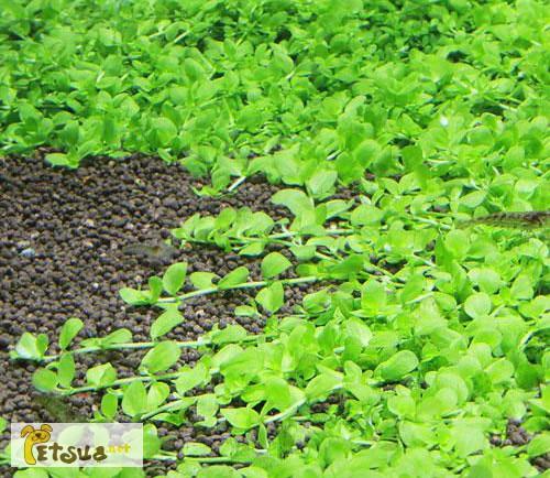 Фото 5. Аквариумные растения для небольших и нано аквариумов
