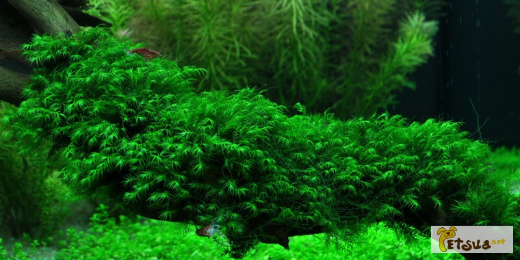 Фото 8. Аквариумные растения для небольших и нано аквариумов