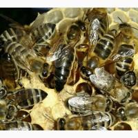 Продам пчеломатки карпатки, вучкові недорого