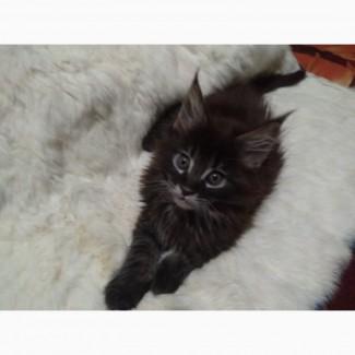 Шикарные котята мейн-кун для разведения и для души