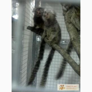 Мавпочки
