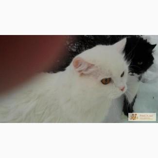 Кот белый (турецкий ван)