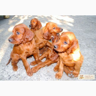 Продам щенков Ирландского сеттера
