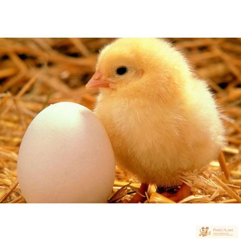 Прайс на инкубационное яйцо бройлеров, цветных и ...