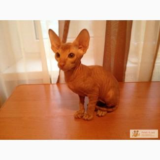 Продам котят породы петерболд (перебургский сфинкс)