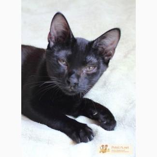 Кошечка черная Джесика породы бомбейская