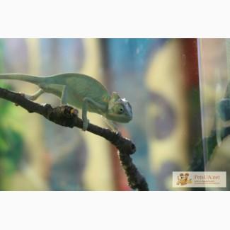Йеменский хамелеон(молодь) Chameleon caliptratus