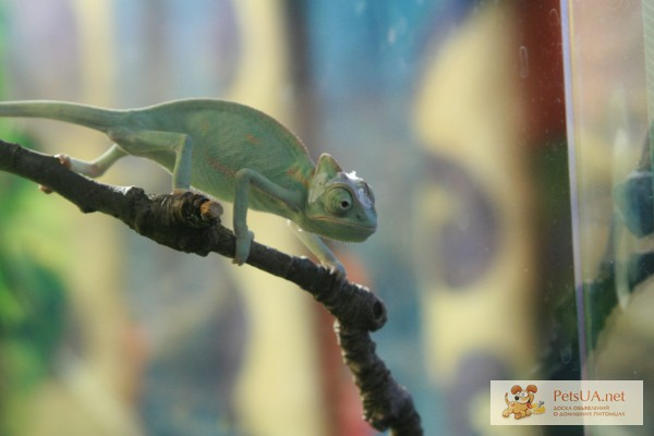 Фото 1/1. Йеменский хамелеон(молодь) Chameleon caliptratus