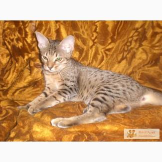 Пятнистые котята оцикет