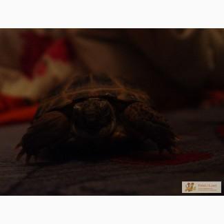Продам сухопутну черепаху і тераріум для неї!!!