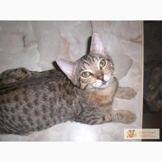Питомник Мичетонг предлагает котят породы Оцикет