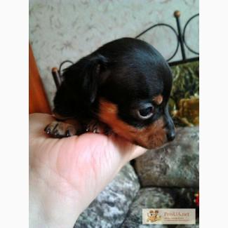 Продам недорого миниатюрных щенков той-терьера